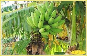 Banana Plant Stem