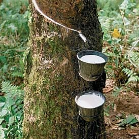 Prosperity from Rubber Plantations