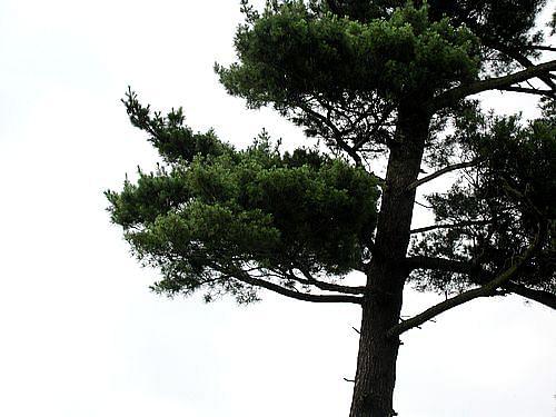 pine-2