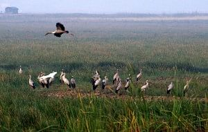 Openbilled storks, Mangalajodi wetland
