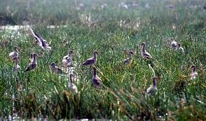 Bartailed godwits, Mangalajodi wetland