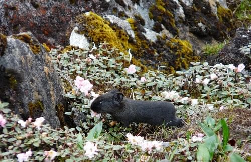 The black pika sighted © Aishwarya Maheshwari/WWF-India