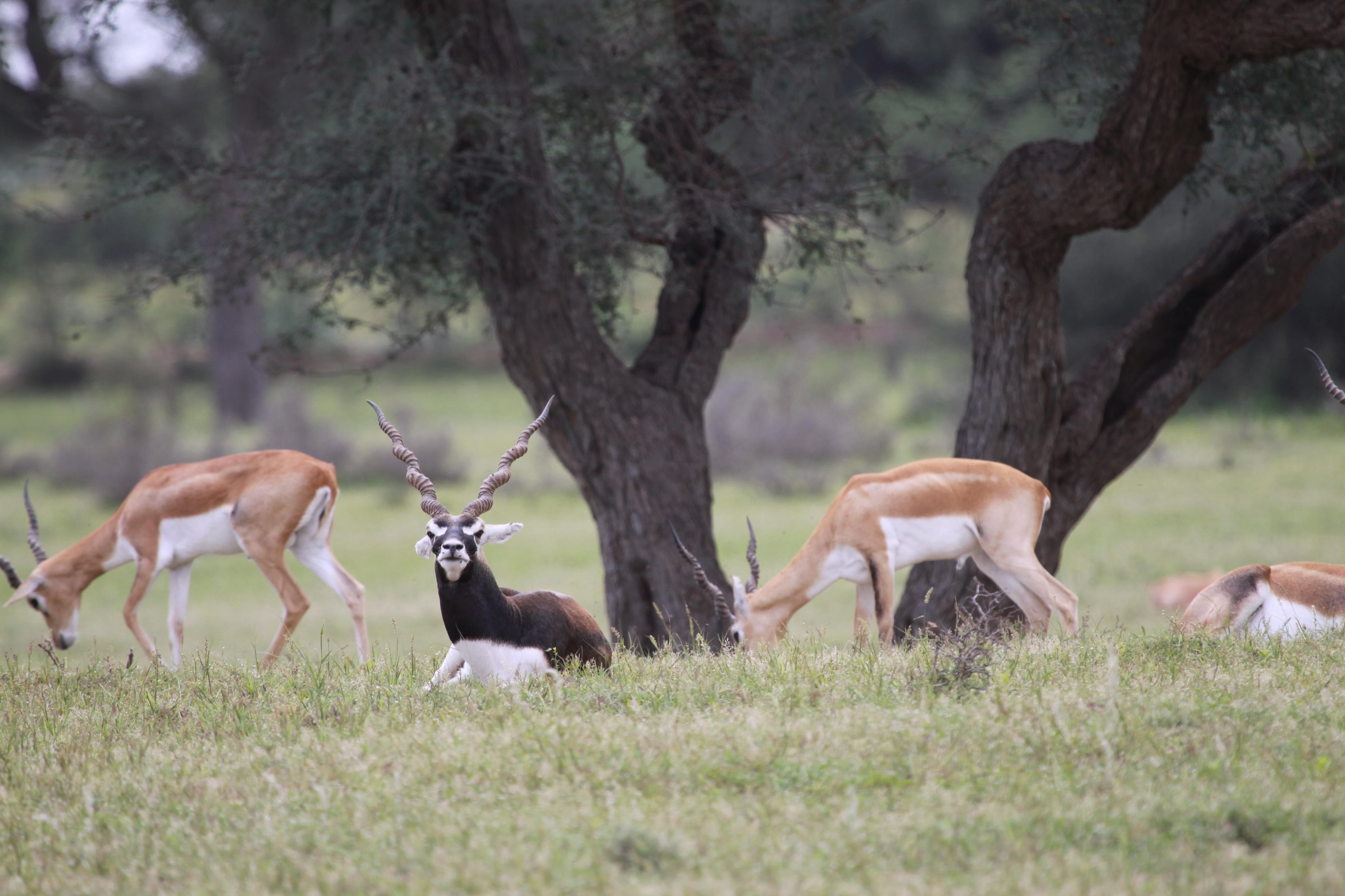 The Land of The Bishnois – Where Conservation Of Wildlife Is A Religion!