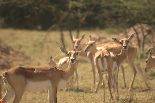 The Bishnoi villages have the largest number of blackbucks and chinkaras in the region