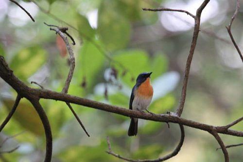 Ruby-throated Bulbul, the State Bird of Goa