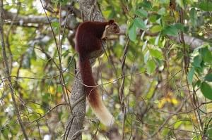The Goan cousin of the Giant Malabar Squirrel.