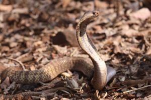 The awe-inspiring King Cobra eluded us, but we still felt lucky in witnessing many other rare species.