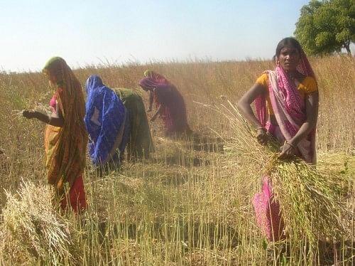 The crops planted by Sahariya adivasis (tribals) in Sunda village on land reclaimed from landlords. (Credit: Jagrut Mahila Sangathan, Baran)