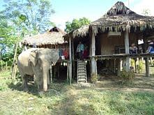 A domestic elephant outside a Singpho tribe house.