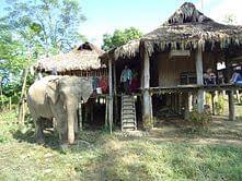 A domestic elephant outside a Singpho tribe house.