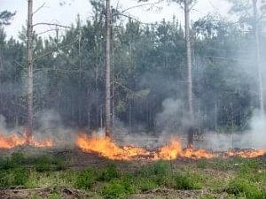 burning pine forests