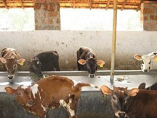 Calves in the cattleshed from the Oddoor dairy near Mangalore