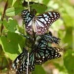 A bouquet of Blue Tiger butterflies.