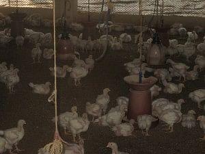 Poultry at AR farms, Heroor village, Kundapur, Udupi district