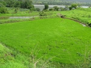 Lush green rice fields lie near the backwaters of the Khadakwasla dam.