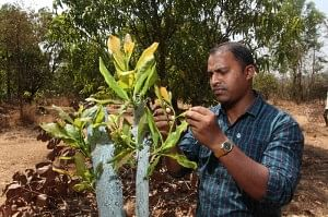 The cashew grafting programme in Pashti village