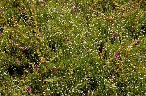 Ephemeral flush vegetation with Impatiens lawii and Eriocaulon species