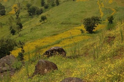Senecio bombayensis on hill slopes