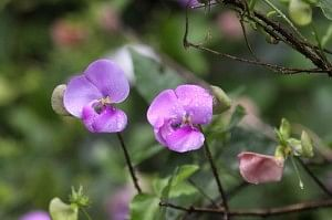 Vigna vexillata, or elephant trunk flower, with edible tuber