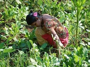 The tribal farmers were taught organic farming to economically empower them and to protect the fragile ecosystem