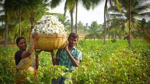 Cotton picking in progress at Kalaivani's farm