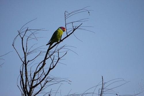Blossom-headed Parakeet.
