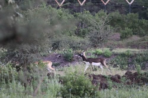 The blackbuck, who have moved out of the sanctuary