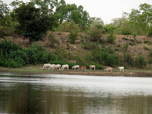 Animals very often come to these malguzari tanks to quench their thirst- Animals on the bank of Kisanpuri Malguzari tank.