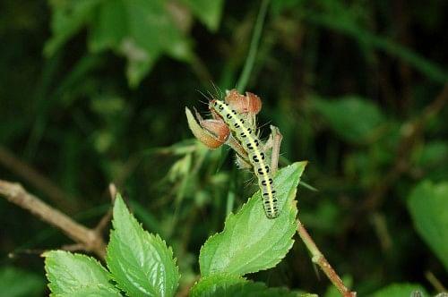 A caterpillar gorging on a bud