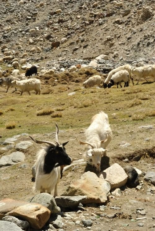 Pashmina Goats grazing on whatever grass they get. En route Pangong, near Chang La.