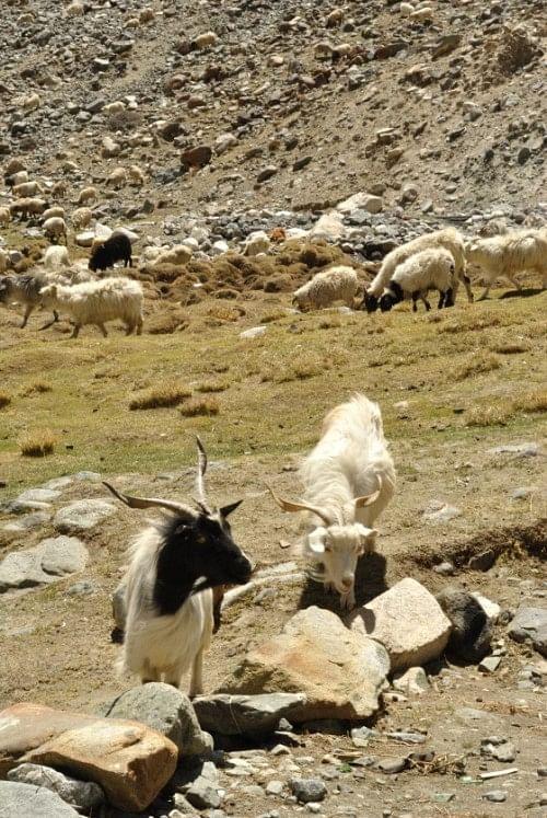 Pashmina Goats grazing on whatever grass they get. En route Pangong, near Chang La.