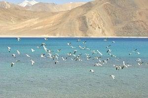 Screeching, scattering sea gulls at Pangong Lake.