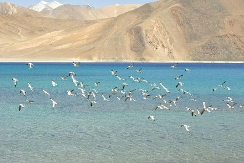 Screeching, scattering sea gulls at Pangong Lake.