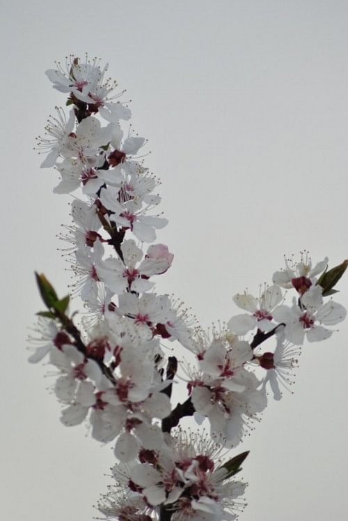 Blooms on an Apricot tree.