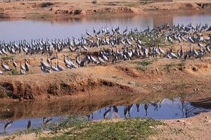 7. As I gazed at the empty Jain havelis that form the distinct heritage of this dusty village, a thought crossed my mind. The migratory Jains make their annual trip here travelling thousands of kilometres, and so do the Demoiselle Cranes.