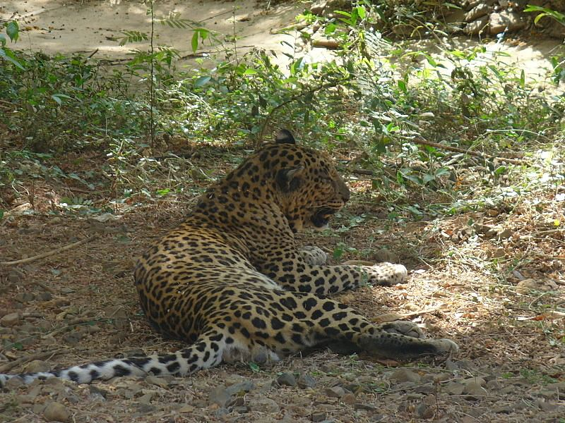 Leopard_in_Sanjay_Gandhi_National_Park