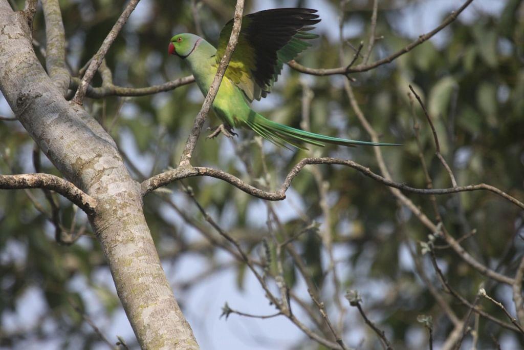 Rose-ringed parakeet about to land.