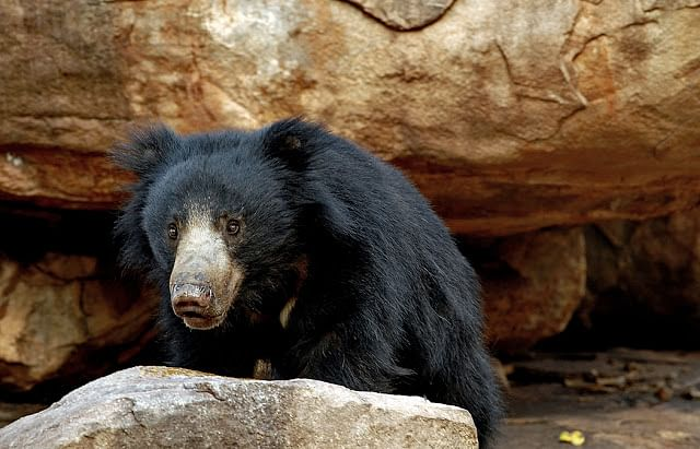 Sloth Bear at the sanctuary.