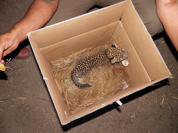 The team has rescued and hand-raised 5 leopard cubs.