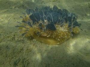 upside down jellyfish