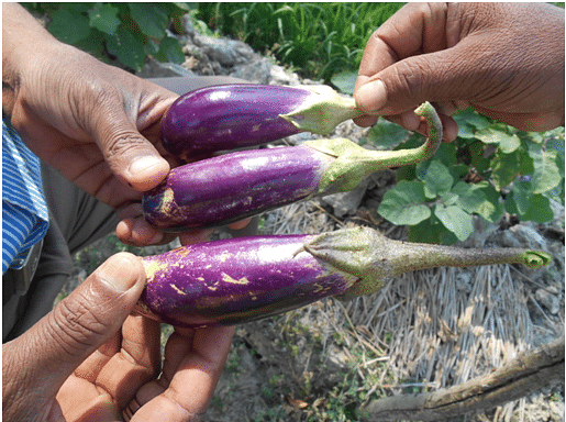 An organic farmer shows brinjals from his field. Notattractive but tastier & healthier than inorganic brinjals.