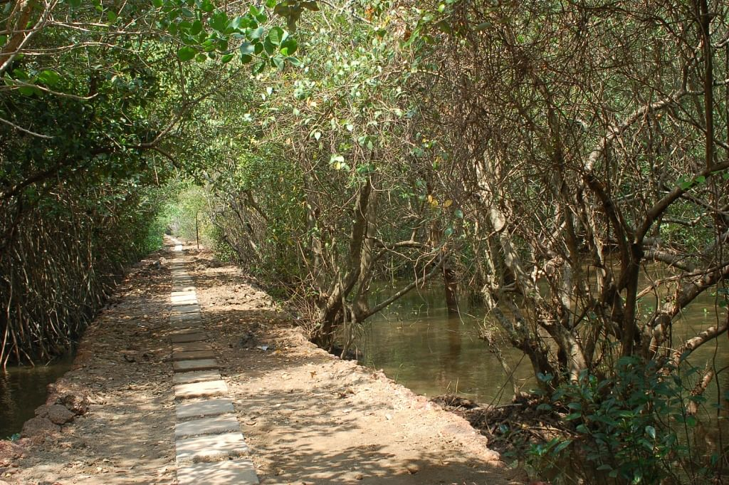 The pathway inside Chorao mangrove sanctuary.