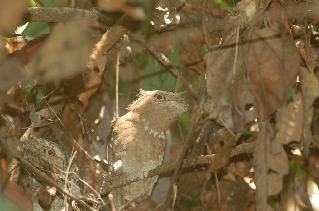 The endangered Ceylon Frogmouth.