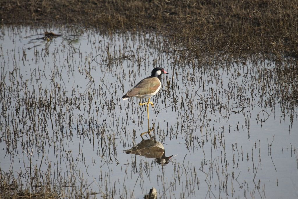 Redwattled Lapwing that screams 'Did he do it?'
