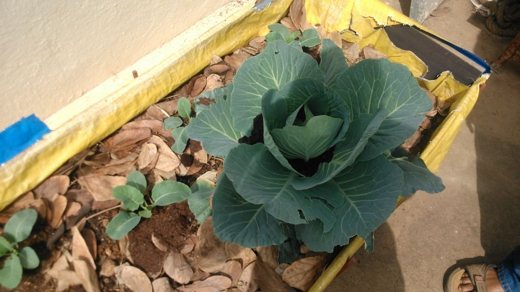 Cabbage in the terrace garden.