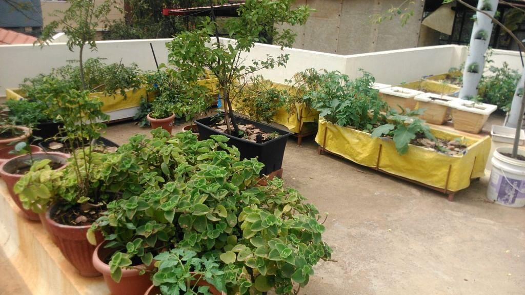 The healthy garden of Dr. VIshwanath.