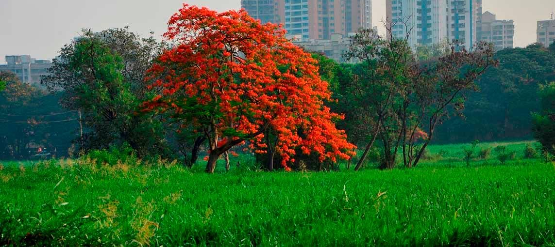 The beautiful tree at Aarey Milk Colony.