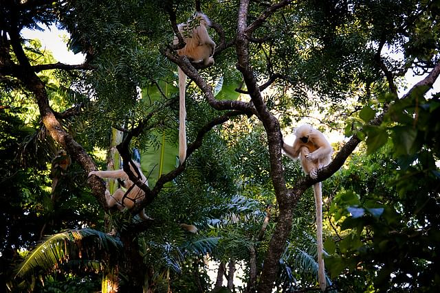 The golden langurs live in groups and are friendly to the people who come here
