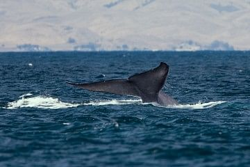 1200px-Blue_whale_tail