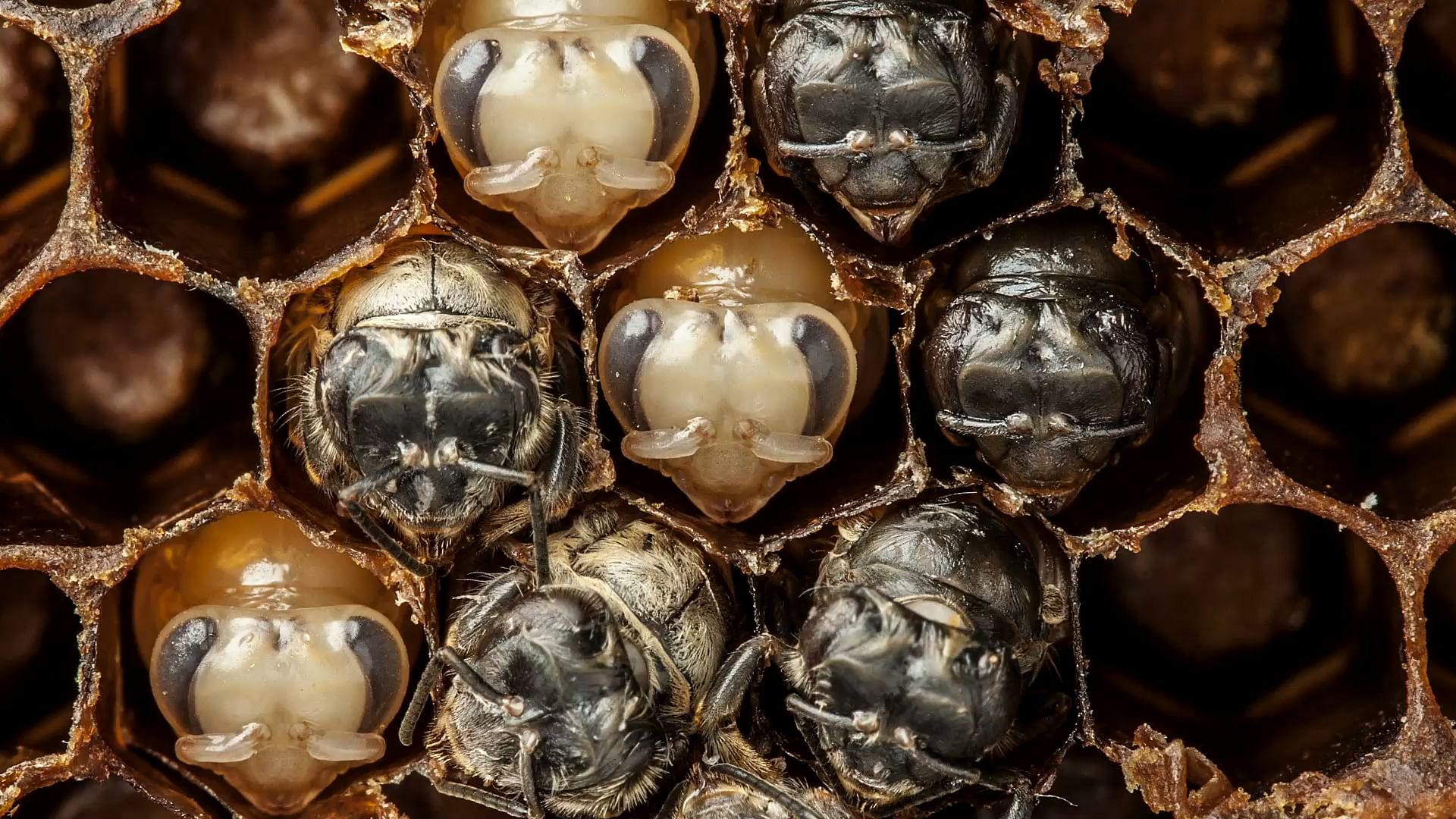 amazing time lapse from larva to bee in 60-seconds